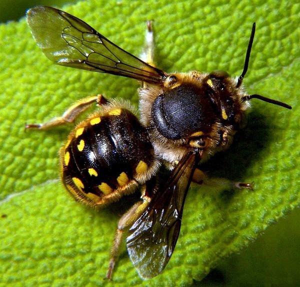 File:Anthidium manicatum male.jpg