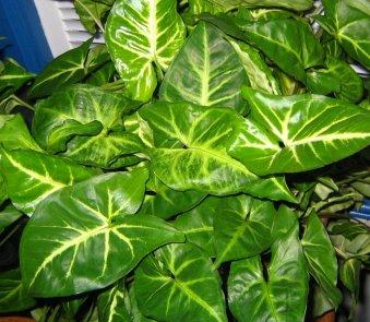 Znalezione obrazy dla zapytania Syngonium podophyllum