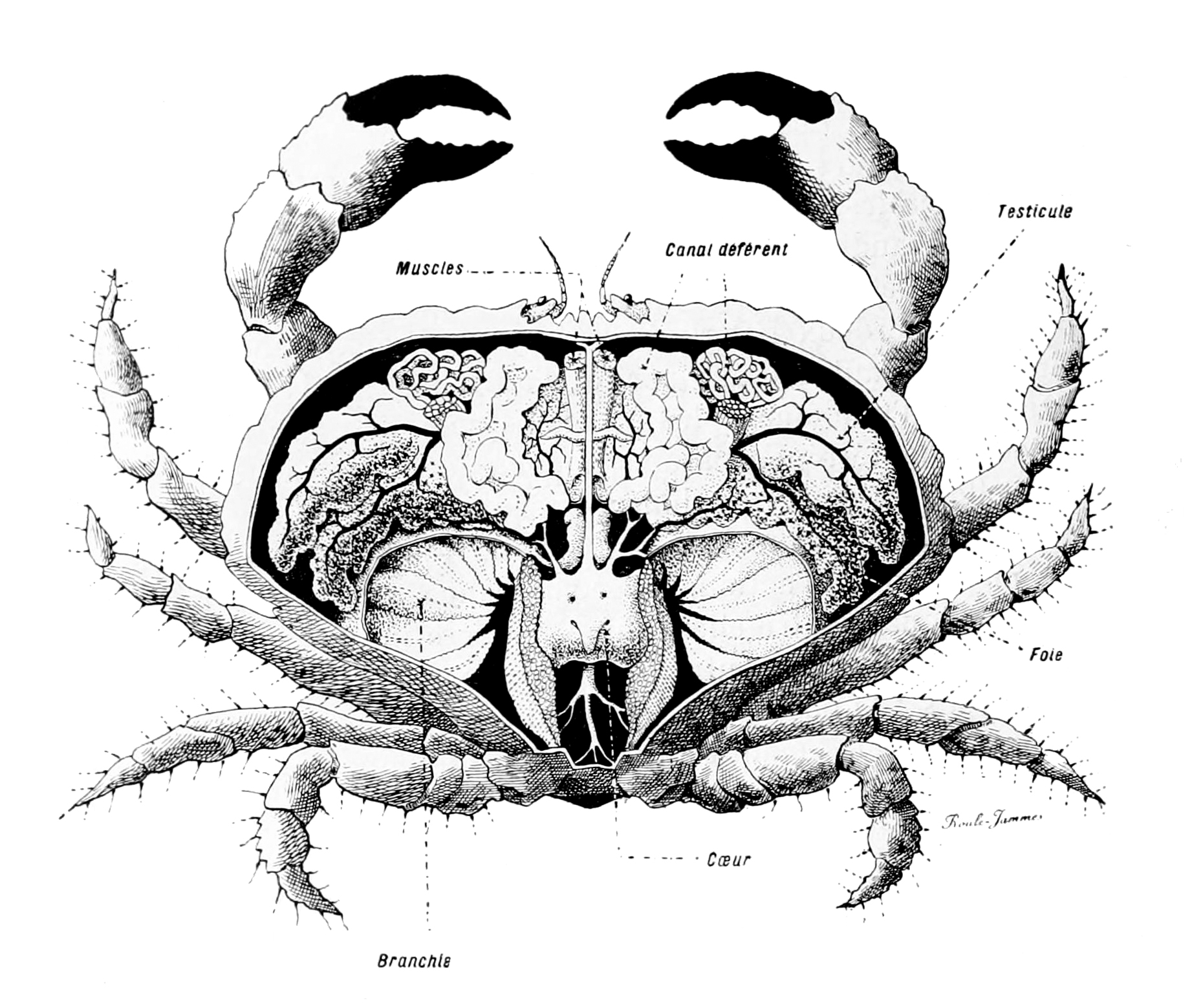 File Crabe Anatomie