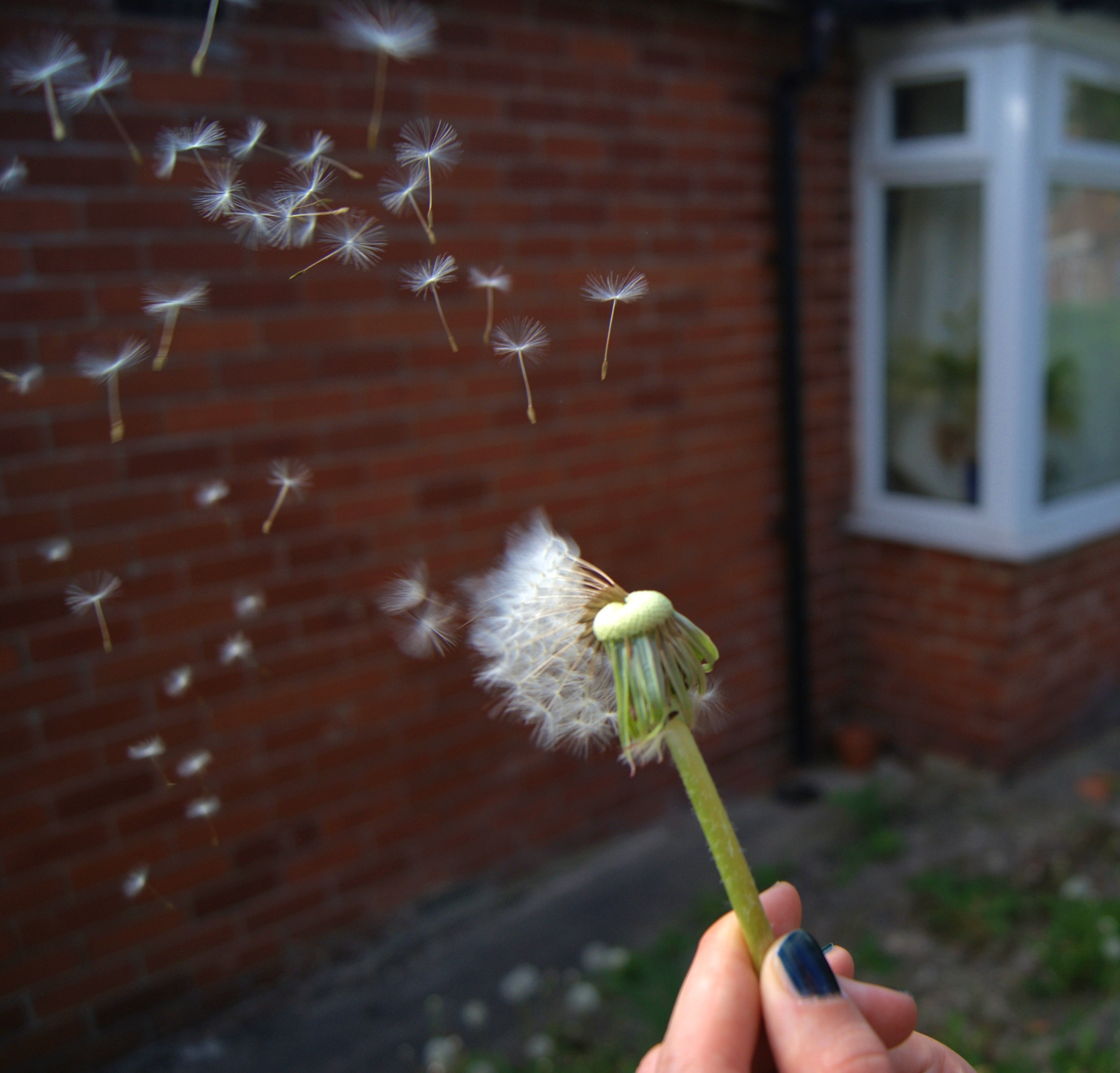 File Dandelion Seed Dispersal