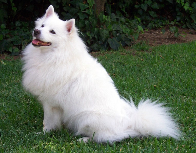 American Eskimo Top 9 Things You Didn't Care To Know
