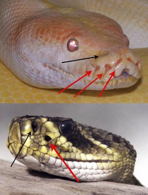 งูมีอวัยวะที่ใช้