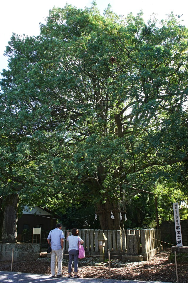 big tree in Kumano Hayatama Taisha shrine