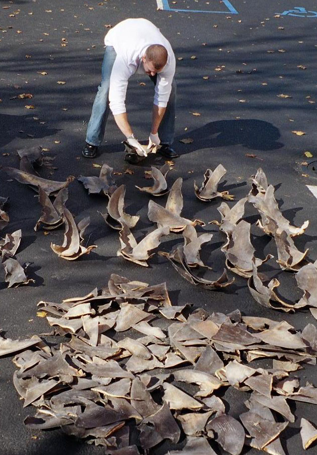 A NOAA official lays out a haul of confiscated shark fins