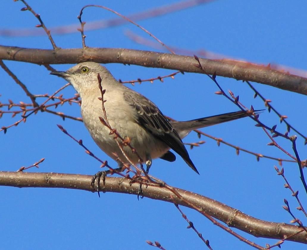 File Northern Mockingbird In Tree