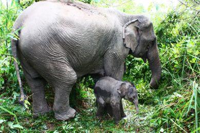 éléphant d'Asie - éléphanteau