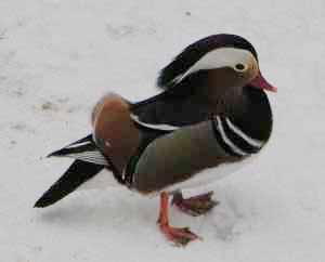 English: A Drake Mandarin Duck (Aix galericula...