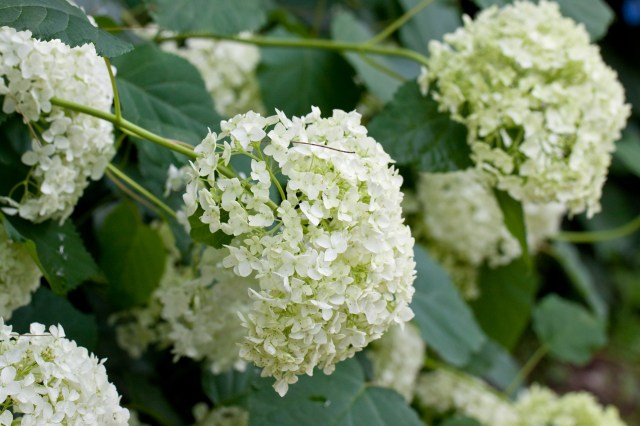 Fileflower Hydrangea Annabelle Flickr Nekonomania