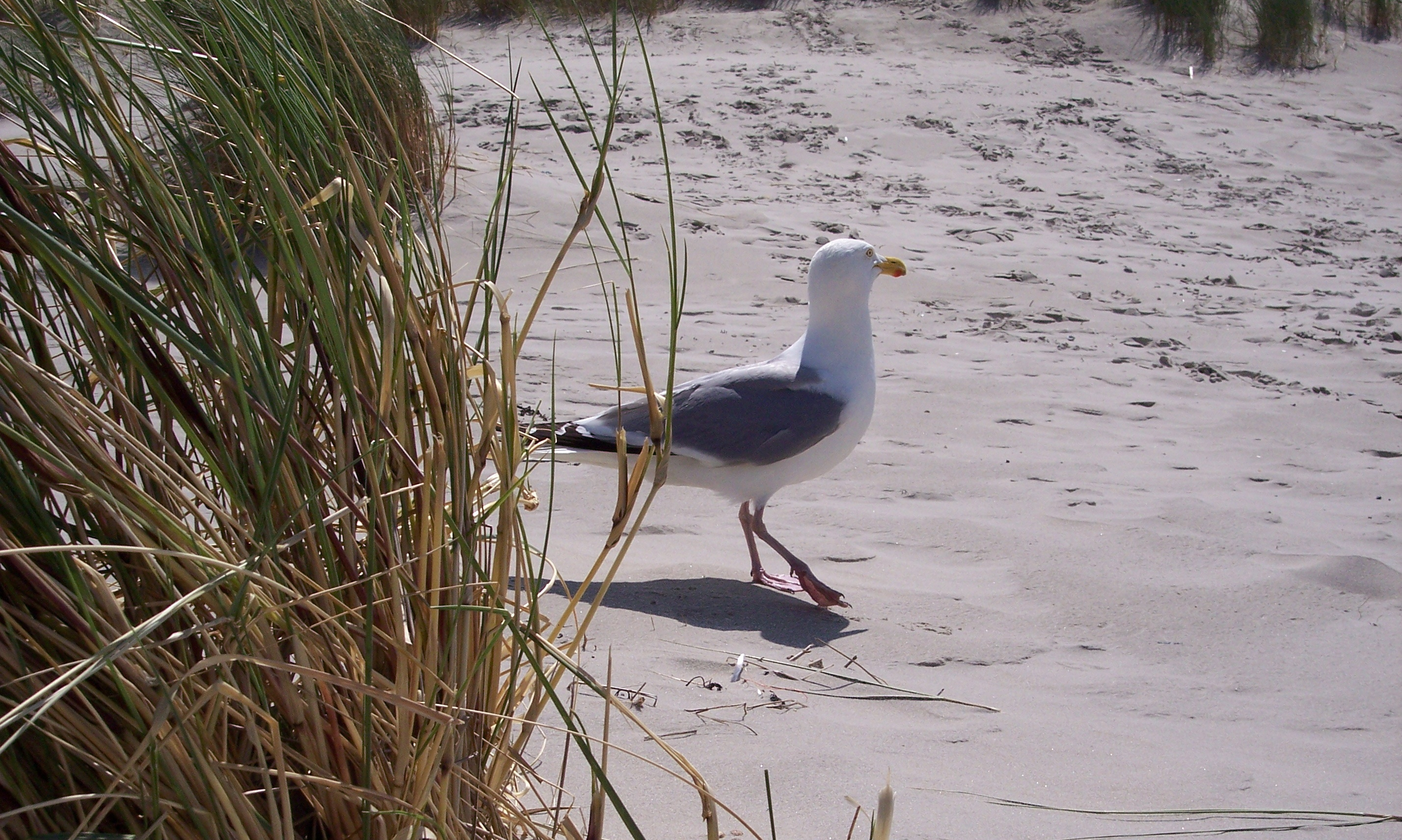 English: Larus argentatus walking the beach at...
