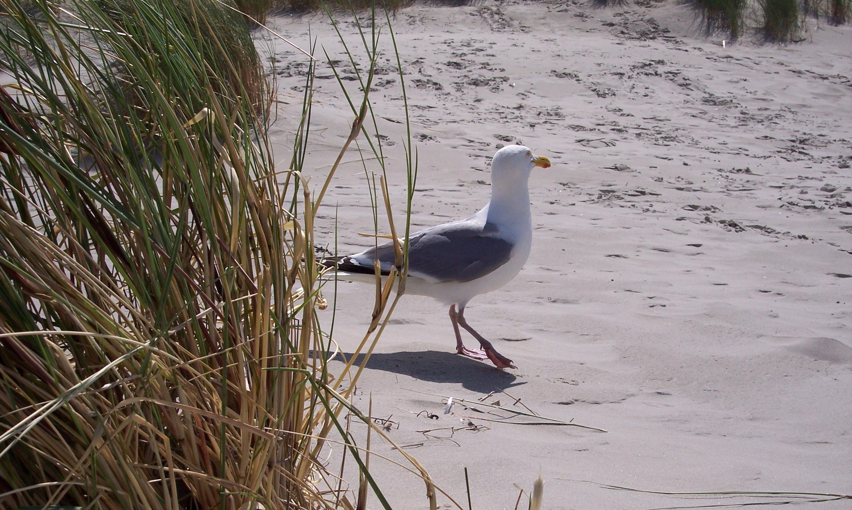 English: Larus argentatus walking the beach at...