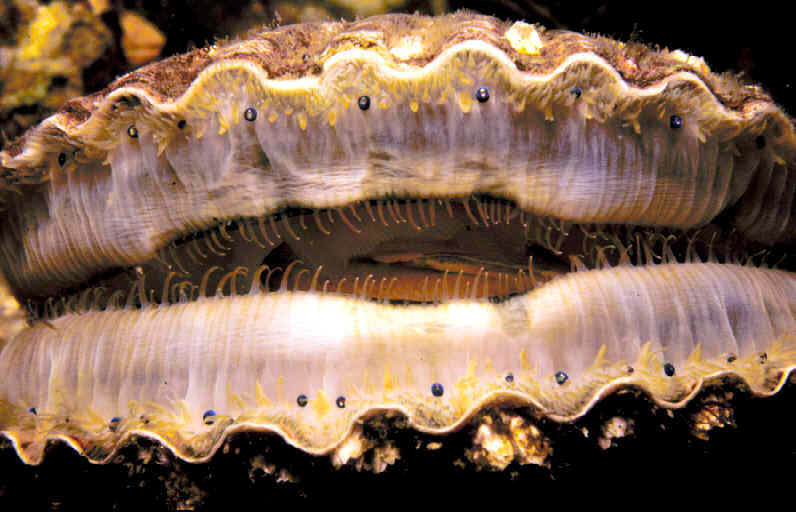 Closeup of scallop mantle margin showing rows of eyes.