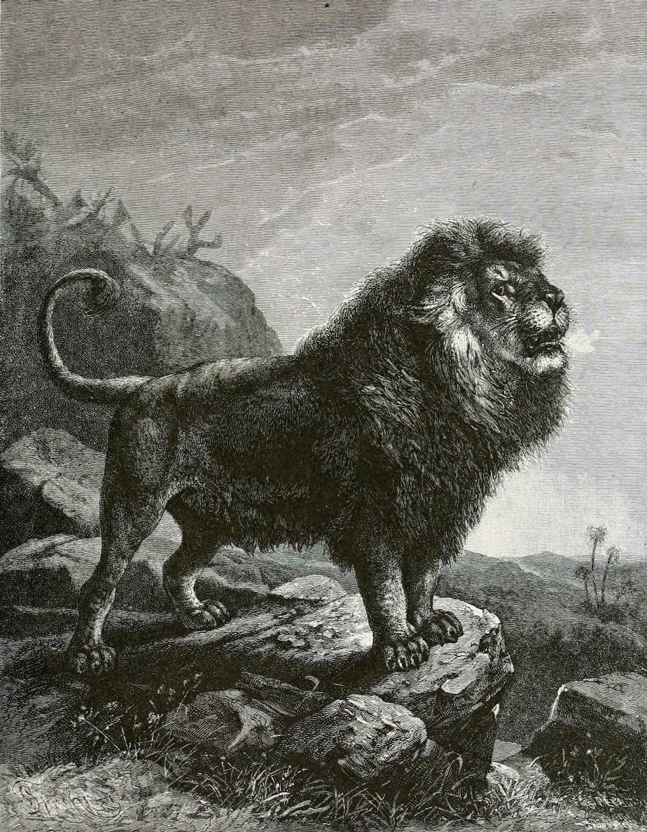 Barbary lion (Panthera leo leo) in a 1898 picture.