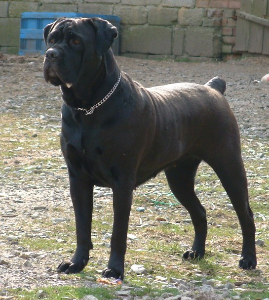 Canecorso Big Dog Pitbull Motorcycle