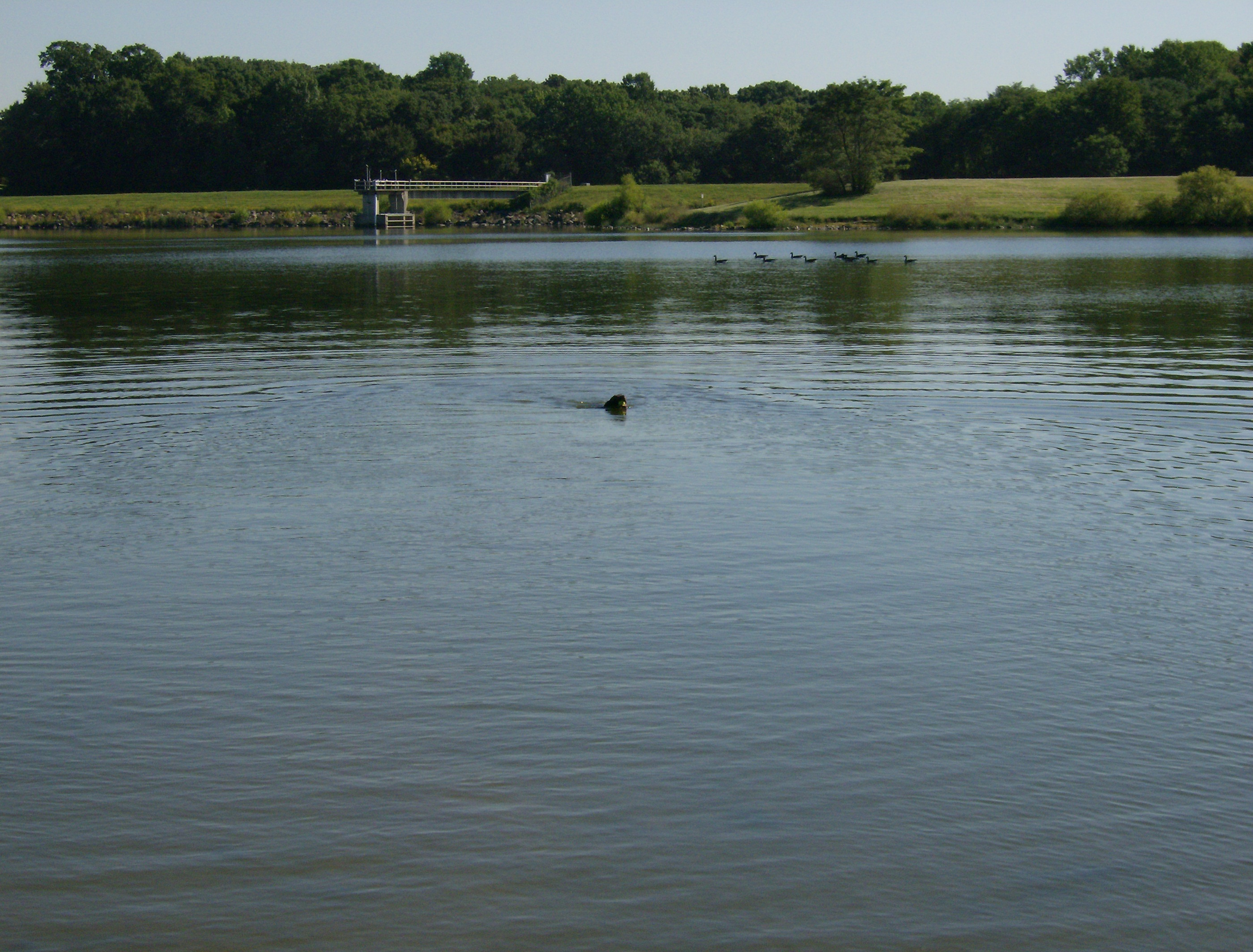 File A Dog Swimming In Lake Luxembourg Bucks County