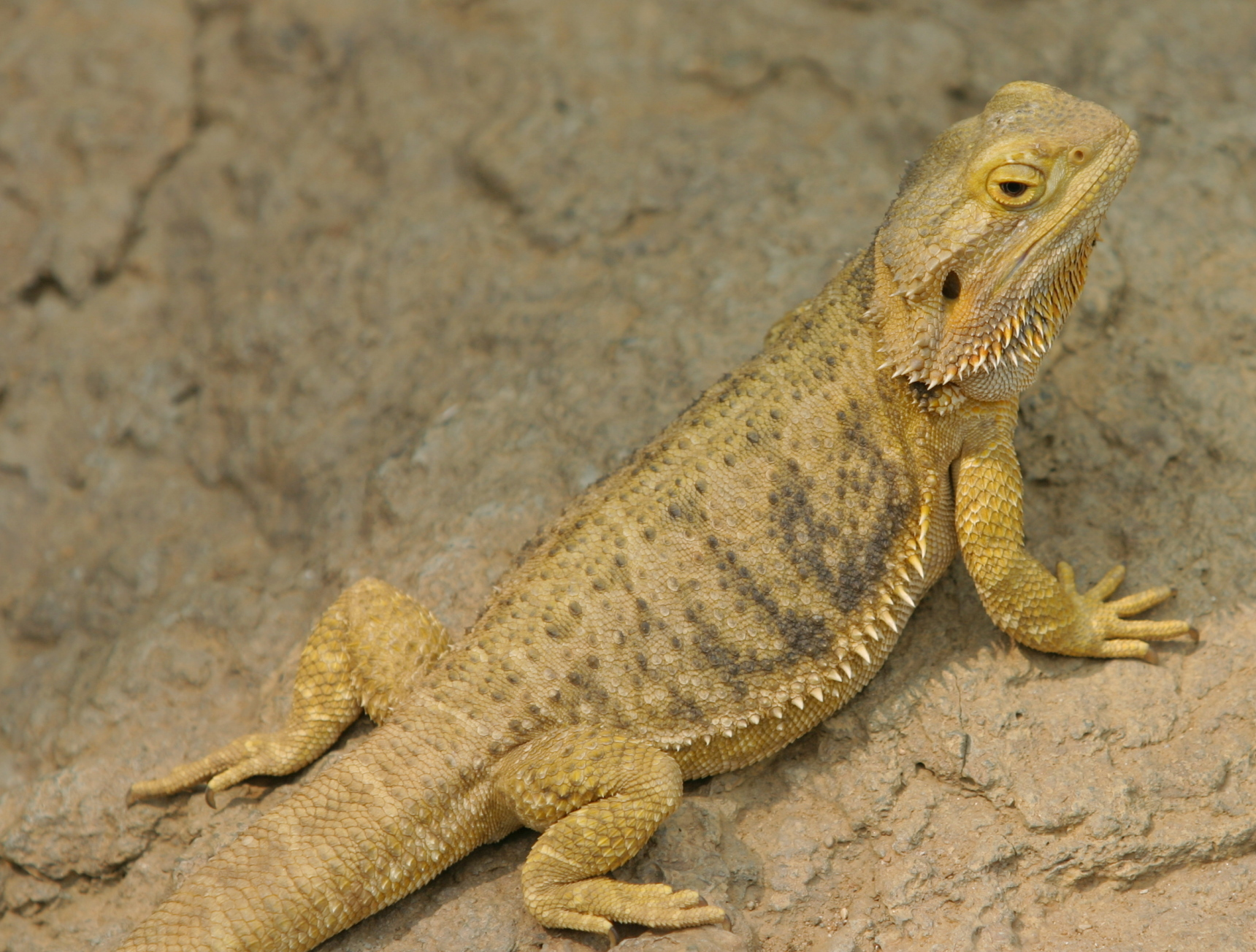 Image of bearded dragon