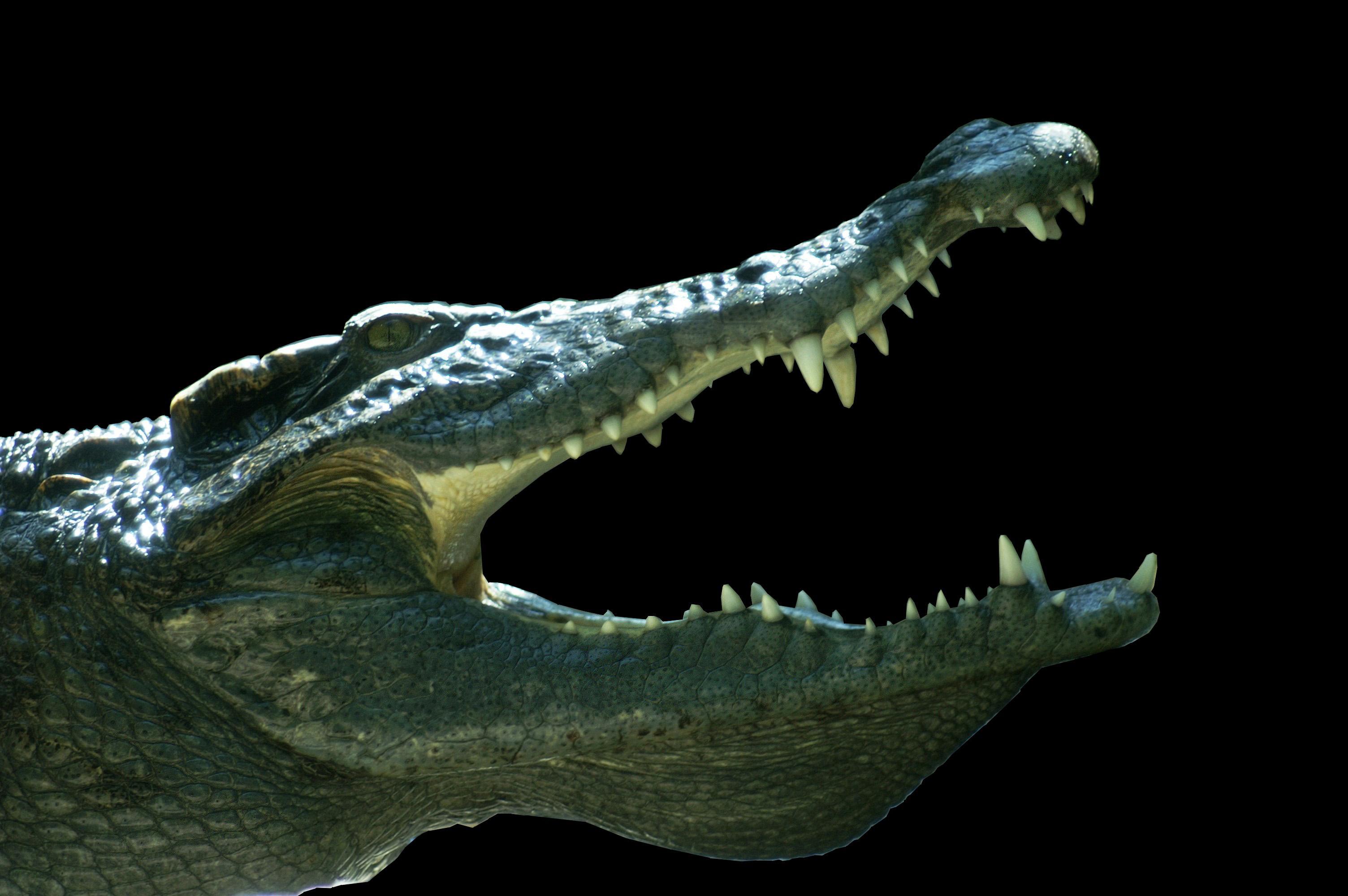 Bilde av et krokodillehode