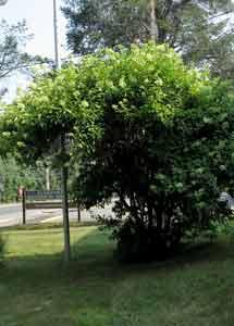 Panicle hydrangea (H. paniculata)