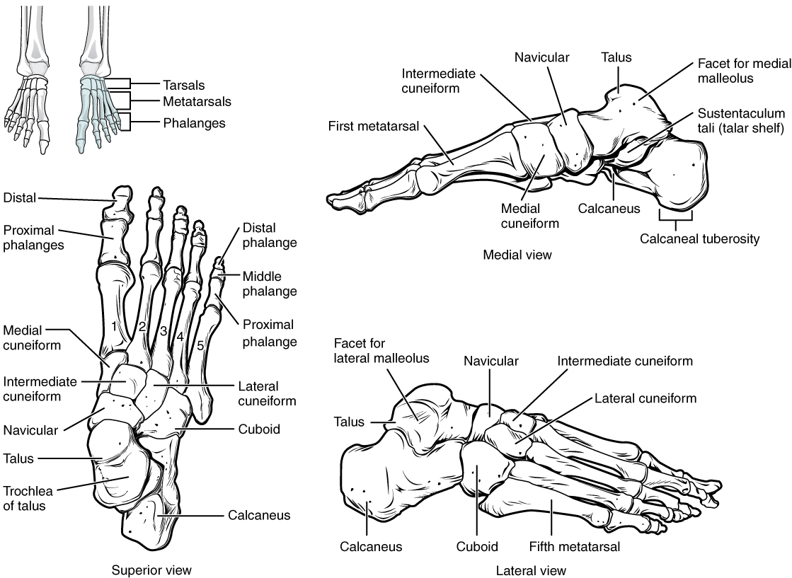 File 812 Bones Of The Foot