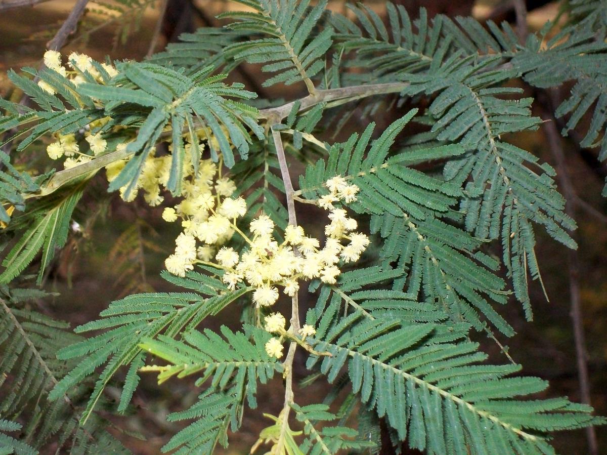 Acacia Trachyphloia Wikipedia