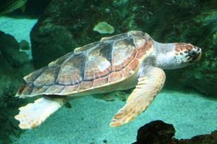 Unechte Karettschildkröte auf Villa Amanda der Schildkröten Blog