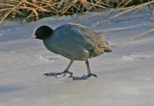 English: Coot on Frozen Lake - February - Wate...