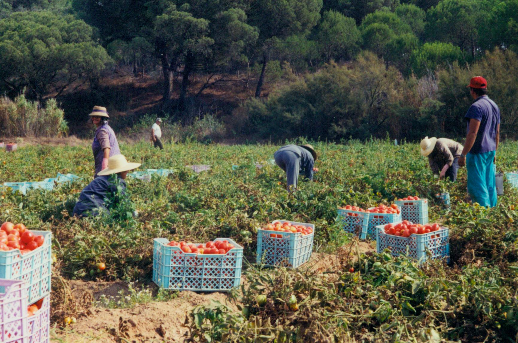 Organic tomatoes grown in Melides (Alentejo, Portugal)