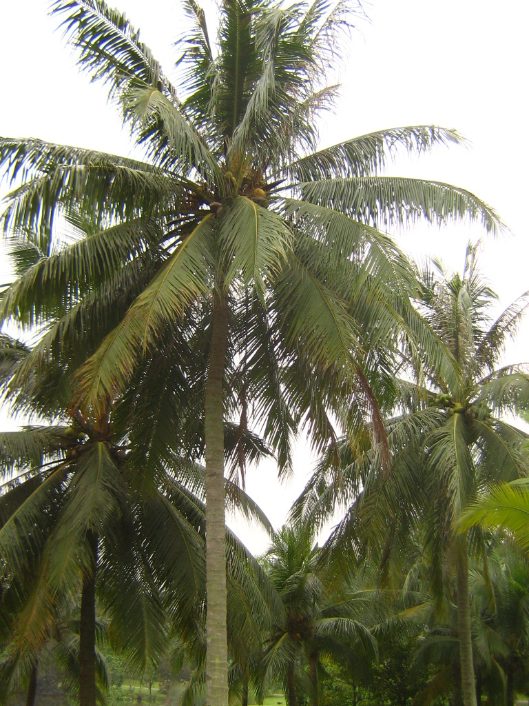 Coconut Palm Simple English Wikipedia The Free Encyclopedia