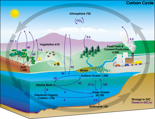 Diagram of the carbon cycle.