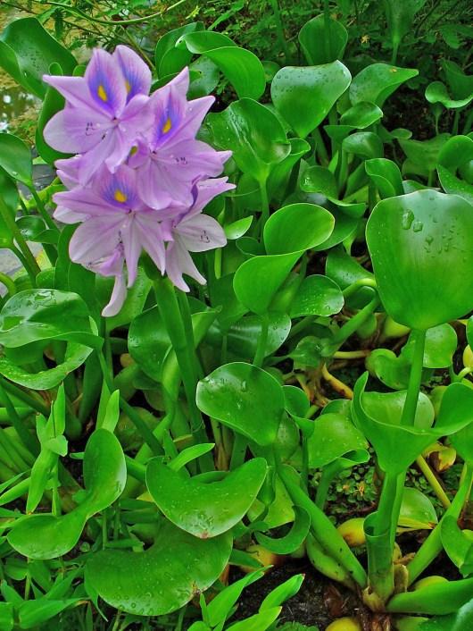 Eichhornia crassipes – Wikipédia, a enciclopédia livre