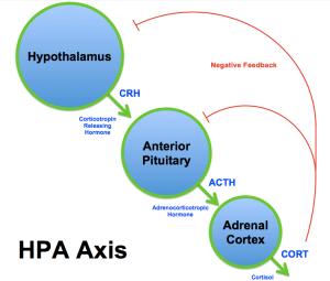Pituitary Neuroendocrine Axis | Leaders in Pharmaceutical