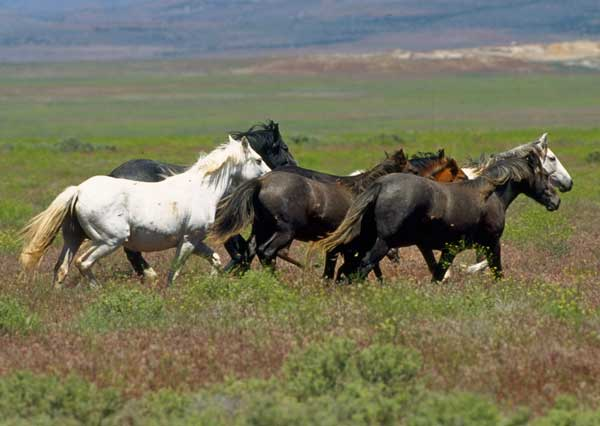 Wild Horses on the Range