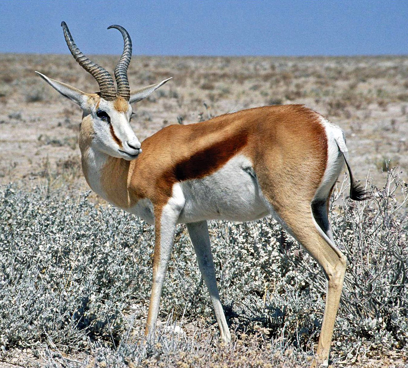https://i1.wp.com/upload.wikimedia.org/wikipedia/commons/5/56/Springbok_Namibia.jpg