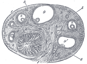 Stroma of ovary  Wikipedia