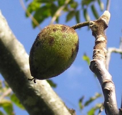 Butternut Nut