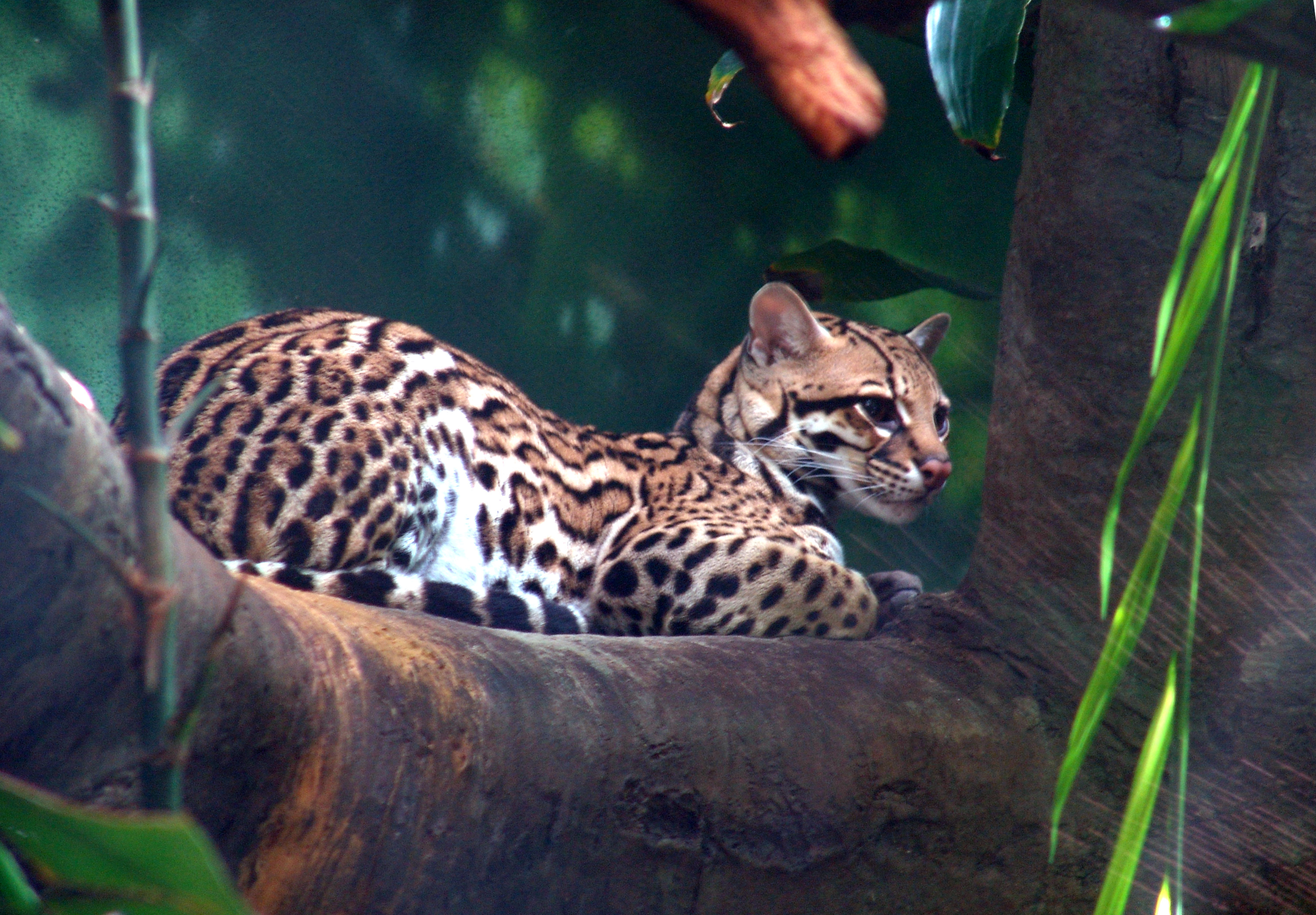 https://i1.wp.com/upload.wikimedia.org/wikipedia/commons/5/58/Ocelot_01.jpg