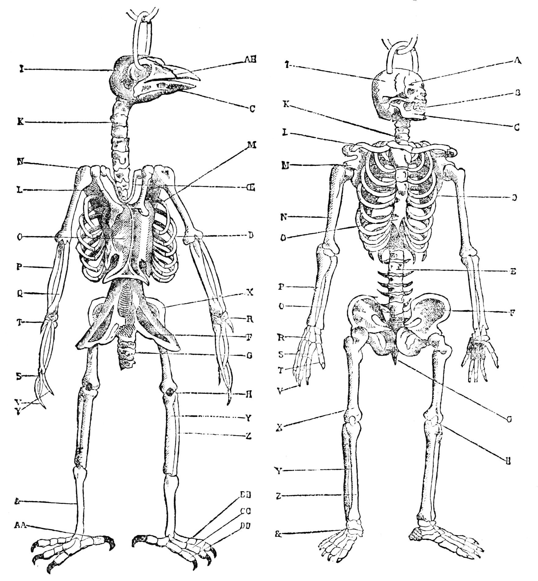 File Psm V34 D714 Skeletons Of A Bird And Man