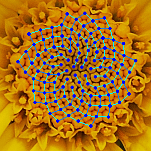 Disk florets of yellow chamomile (Anthemis tinctoria) with spirals indicating the arrangement drawn in.