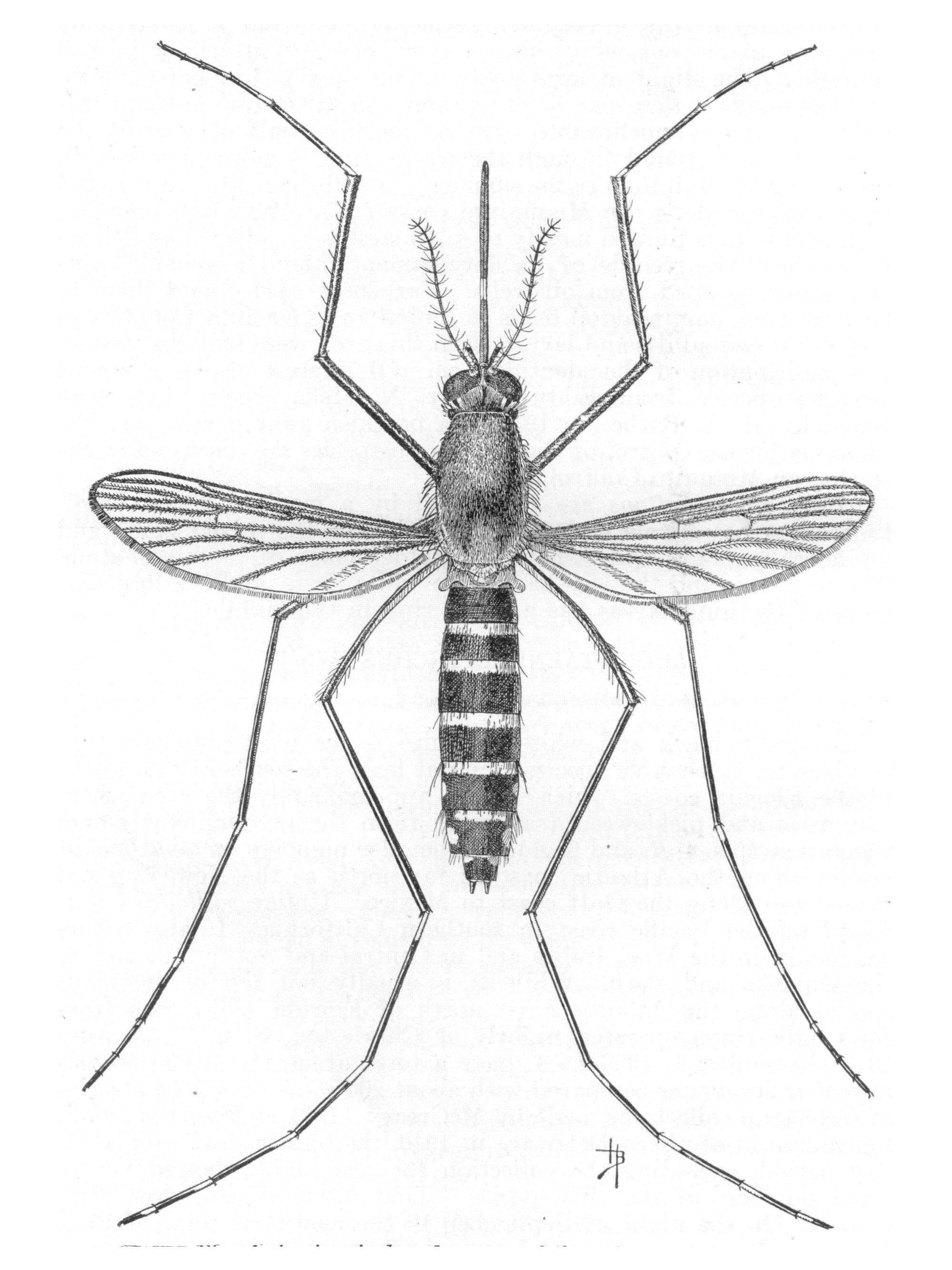 Datei Ochlerotatus Taeniorhynchus Syn Aedes