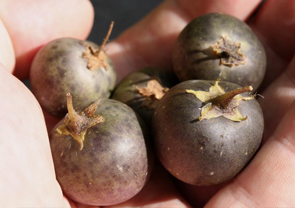 馬鈴薯的果實 - Yahoo!奇摩知識+