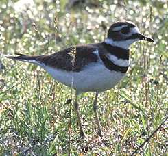 English: Killdeer (Charadrius vociferus), Cali...
