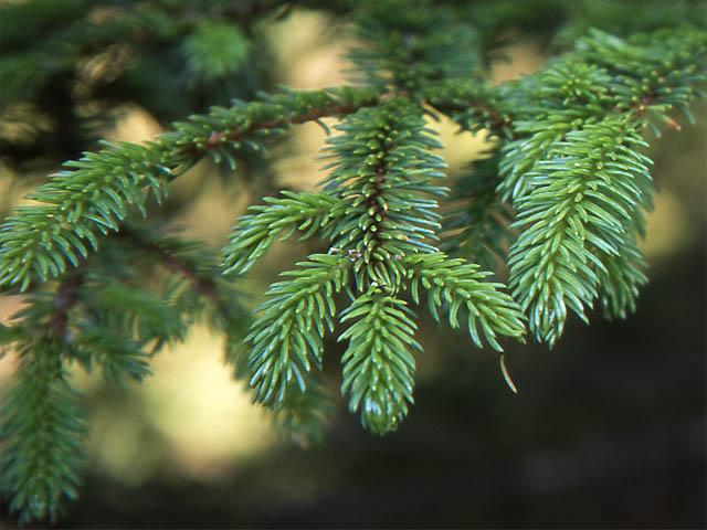 Picea Glehnii Wikispecies