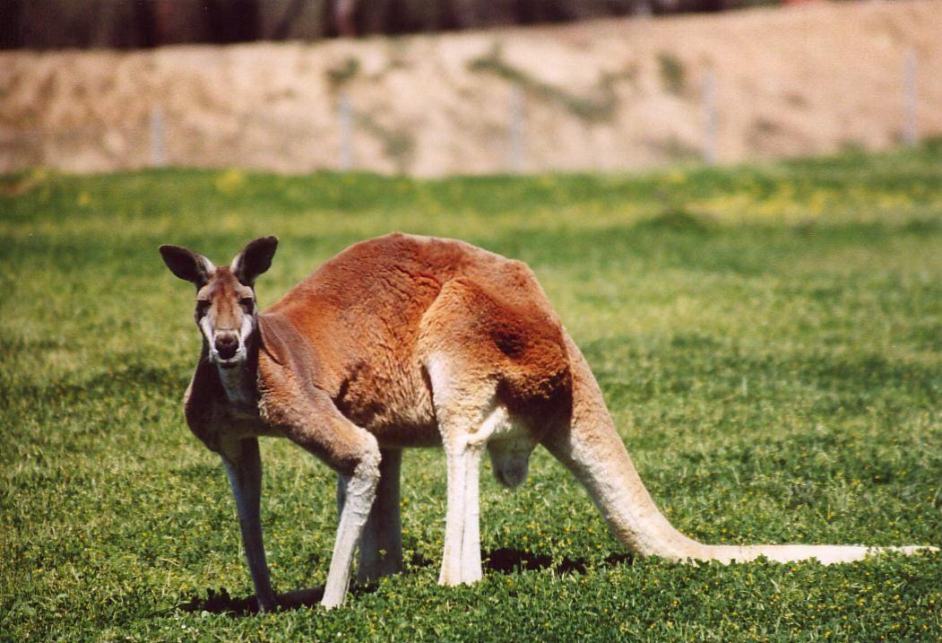 Kangaroo Male