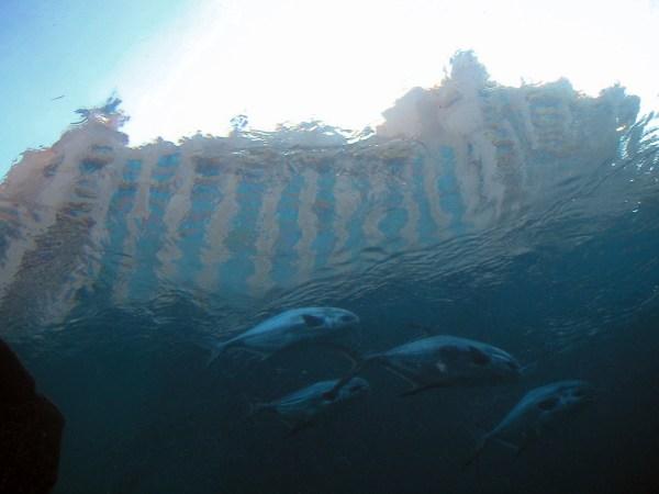 File:School of fish seen from Underwater Tunnel Atlantis.jpg