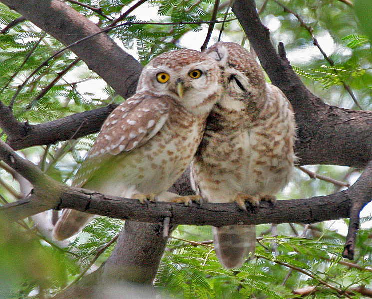Spotted owlets in the wild in Indian national park