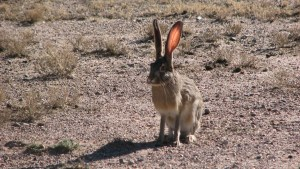 Jackrabbit, photographed at The Replica of old...