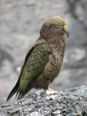 Kea papagaj (Nestor notabilis)