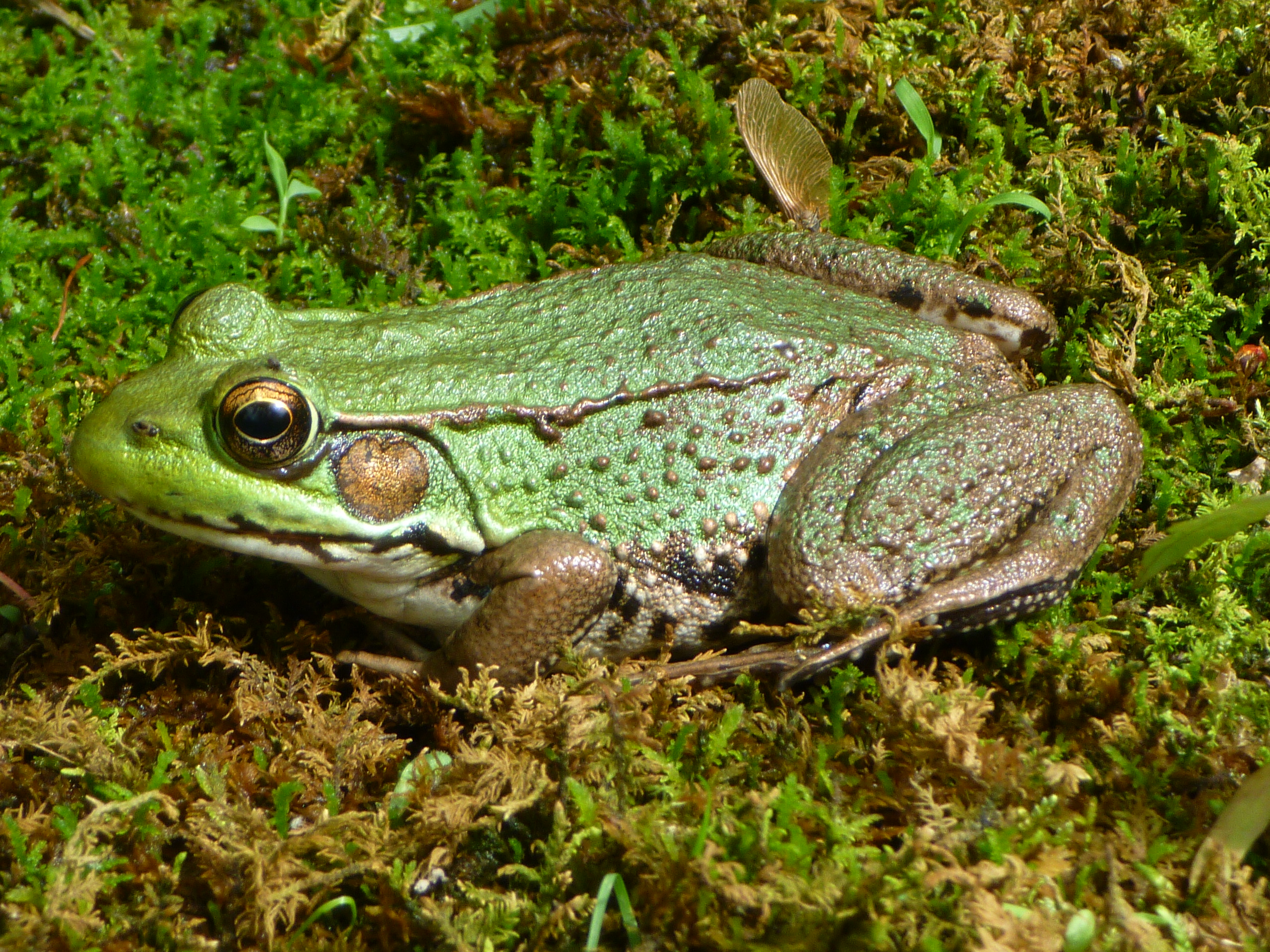 13 illinois toads and frogs midwestern plants