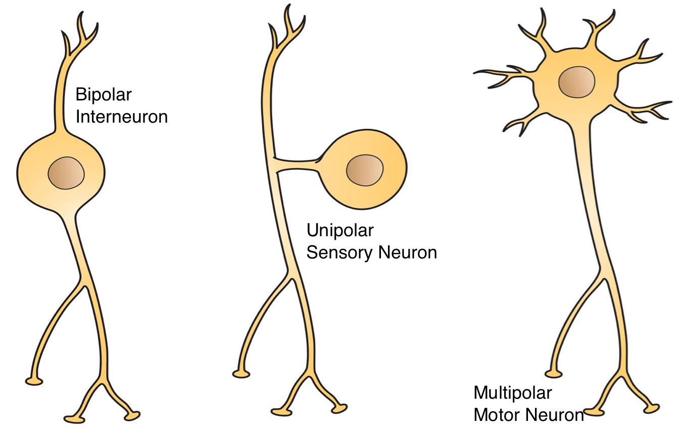 File Three Basic Types Of Neuronal Arrangements
