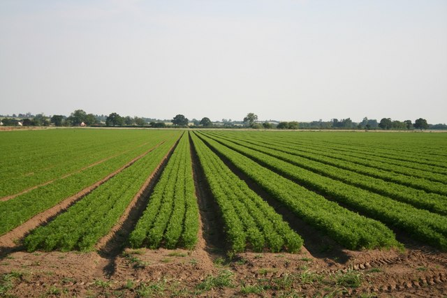 File:Carrots - geograph.org.uk - 195683.jpg