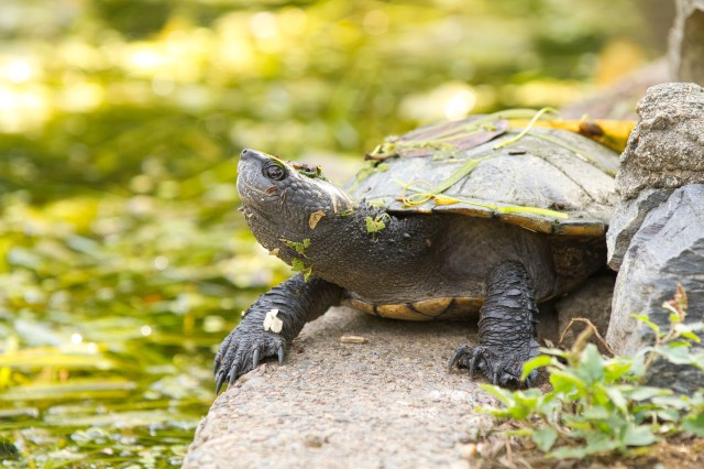 copyright holder of this work, hereby publish it under the following license: English Brisbane Short-necked Turtle in Brisbane's City Botanical Gardens